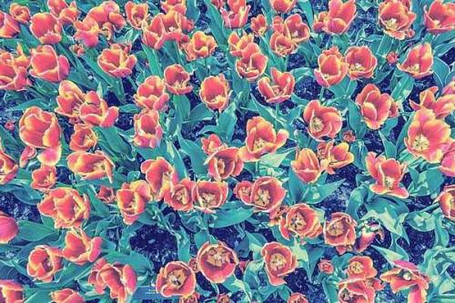 Majdán Zsuzsanna Tulipánok, Hollandia című fotójából